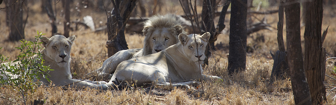 White Lions of Limpopo
